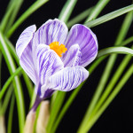 Crocus King of Striped
